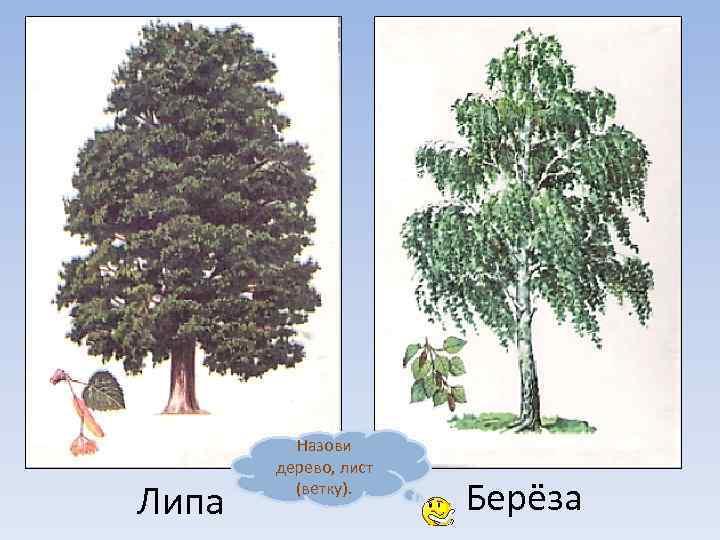 Знакомство с видами деревьев