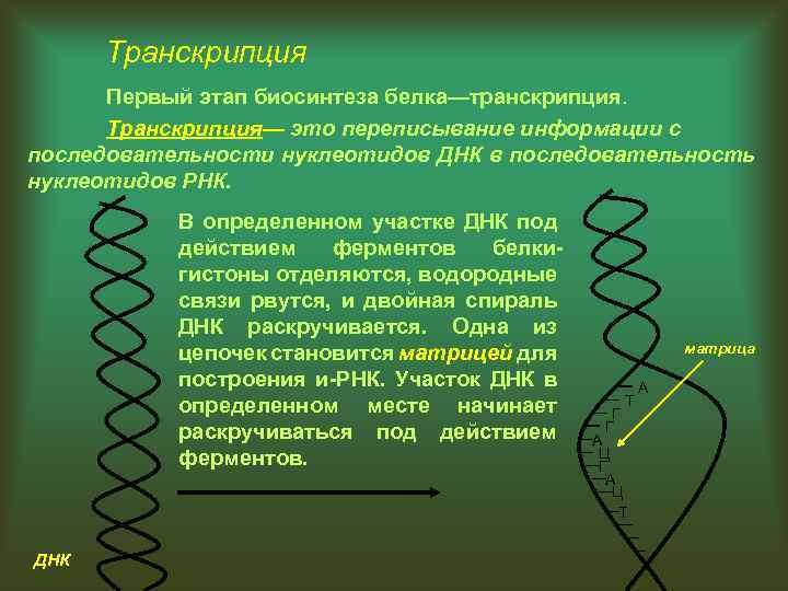 Транскрипция Первый этап биосинтеза белка—транскрипция. Транскрипция— это переписывание информации с последовательности нуклеотидов ДНК в