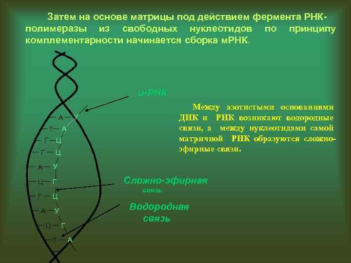 Затем на основе матрицы под действием фермента РНКполимеразы из свободных нуклеотидов по принципу комплементарности
