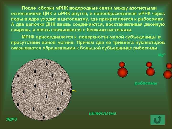 После сборки м. РНК водородные связи между азотистыми основаниями ДНК и м. РНК рвутся,
