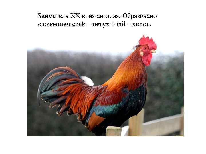 Заимств. в XX в. из англ. яз. Образовано сложением cock – петух + tail