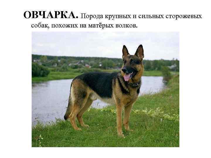 ОВЧАРКА. Порода крупных и сильных сторожевых собак, похожих на матёрых волков.