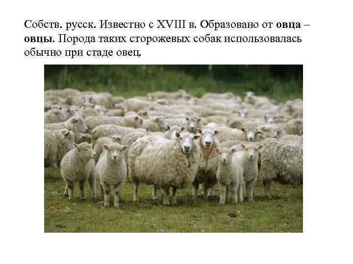 Собств. русск. Известно с XVIII в. Образовано от овца – овцы. Порода таких сторожевых