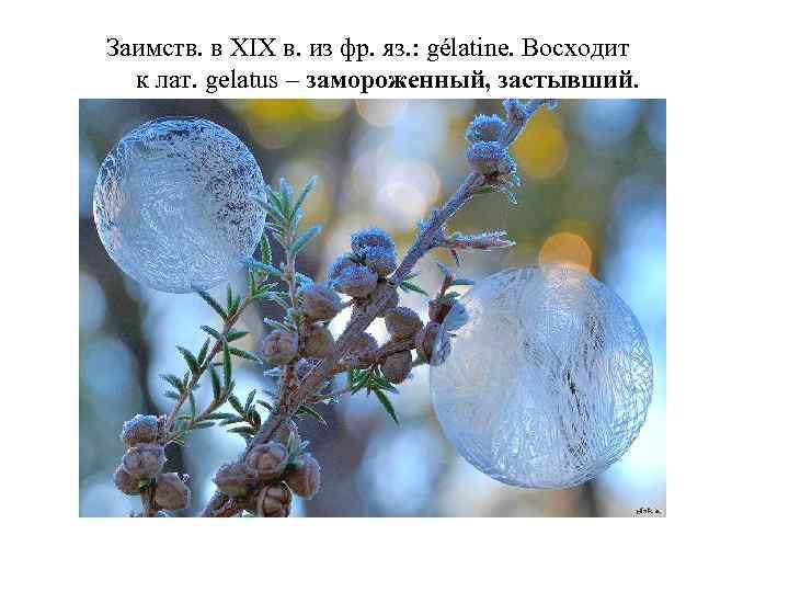 Заимств. в XIX в. из фр. яз. : gélatine. Восходит к лат. gelatus –