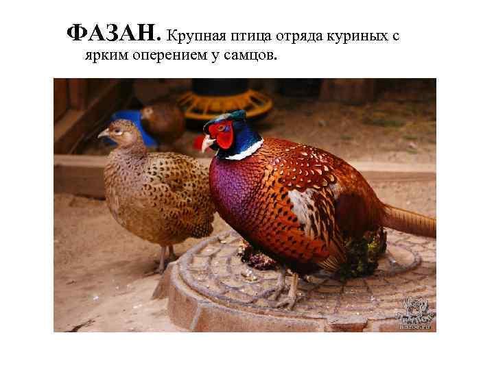 ФАЗАН. Крупная птица отряда куриных с ярким оперением у самцов.