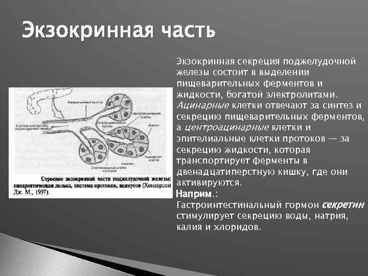 Экзокринная часть Экзокринная секреция поджелудочной железы состоит в выделении пищеварительных ферментов и жидкости, богатой