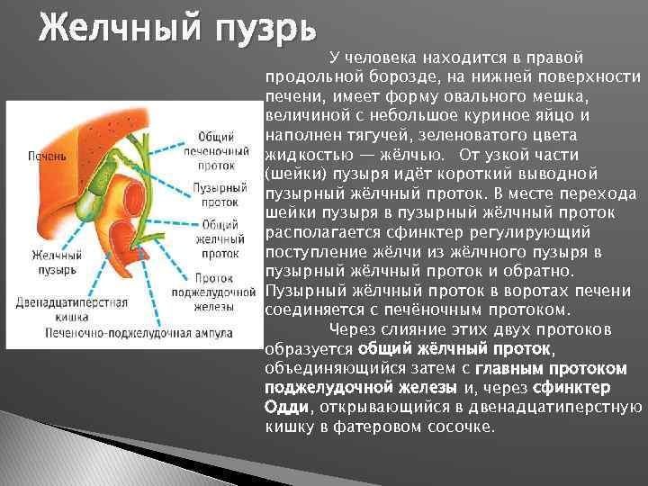 Желчный пузрь У человека находится в правой продольной борозде, на нижней поверхности печени, имеет