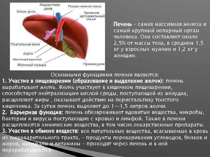 Печень – самая массивная железа и самый крупный непарный орган человека. Она составляет около