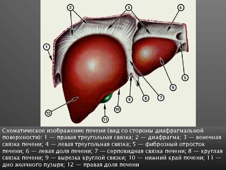 Схематическое изображение печени (вид со стороны диафрагмальной поверхности): 1 — правая треугольная связка; 2