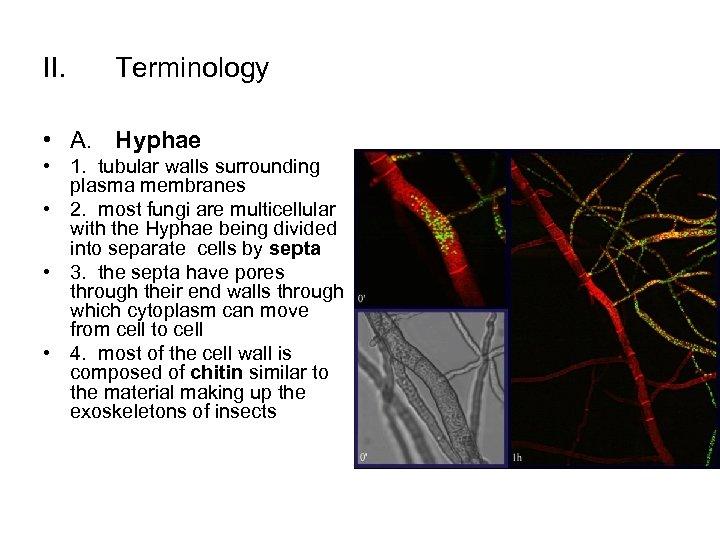 II. Terminology • A. Hyphae • 1. tubular walls surrounding plasma membranes • 2.