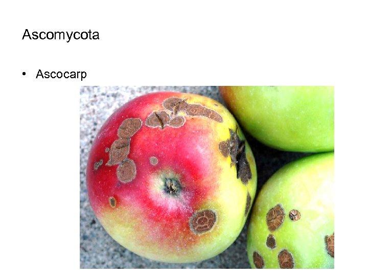 Ascomycota • Ascocarp