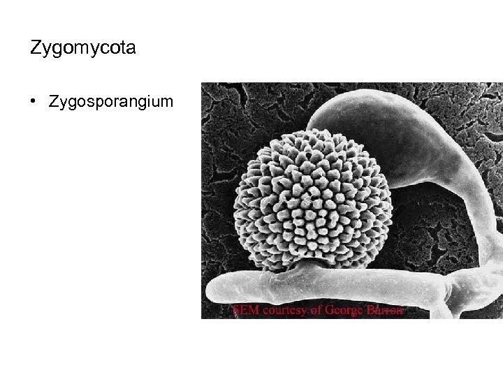 Zygomycota • Zygosporangium