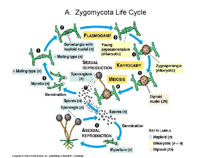 A. Zygomycota Life Cycle