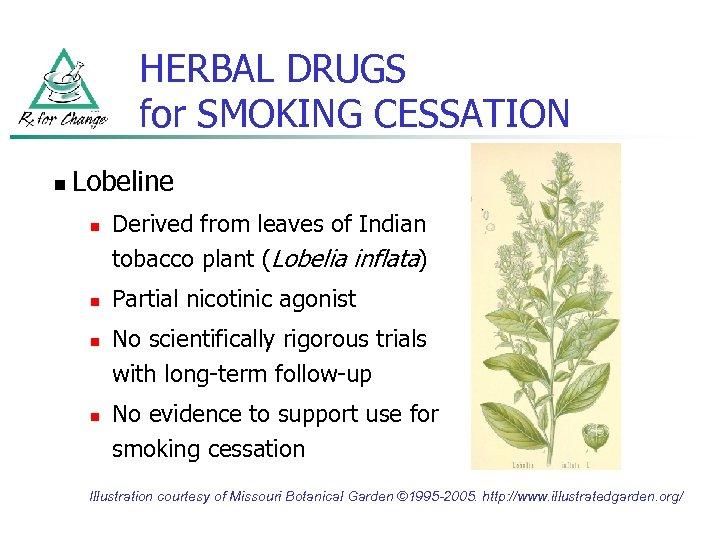 HERBAL DRUGS for SMOKING CESSATION n Lobeline n n Derived from leaves of Indian