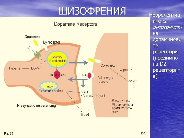 ШИЗОФРЕНИЯ Невролептиц ите са антагонисти на допаминови те рецептори (предимно на D 2 рецепторит