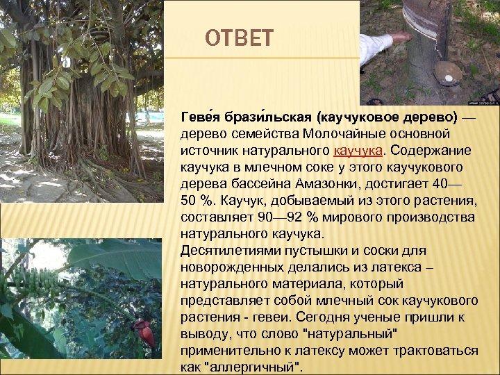 ОТВЕТ Геве я брази льская (каучуковое дерево) — дерево семейства Молочайные основной источник натурального