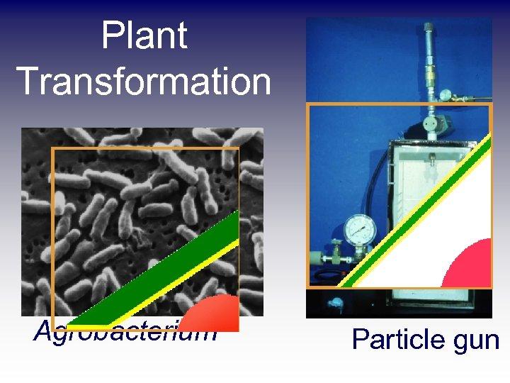 Plant Transformation Agrobacterium Particle gun