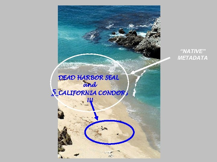 """NATIVE"" METADATA 5 DEAD HARBOR SEAL and CALIFORNIA CONDORS !!!"
