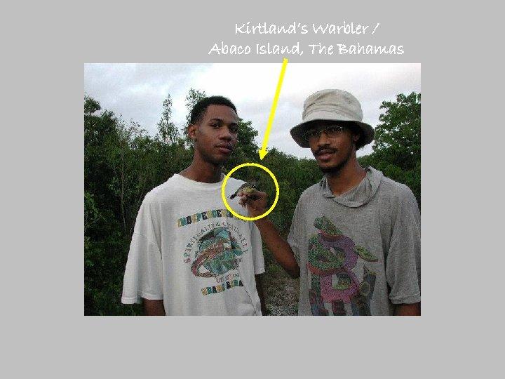 Kirtland's Warbler / Abaco Island, The Bahamas