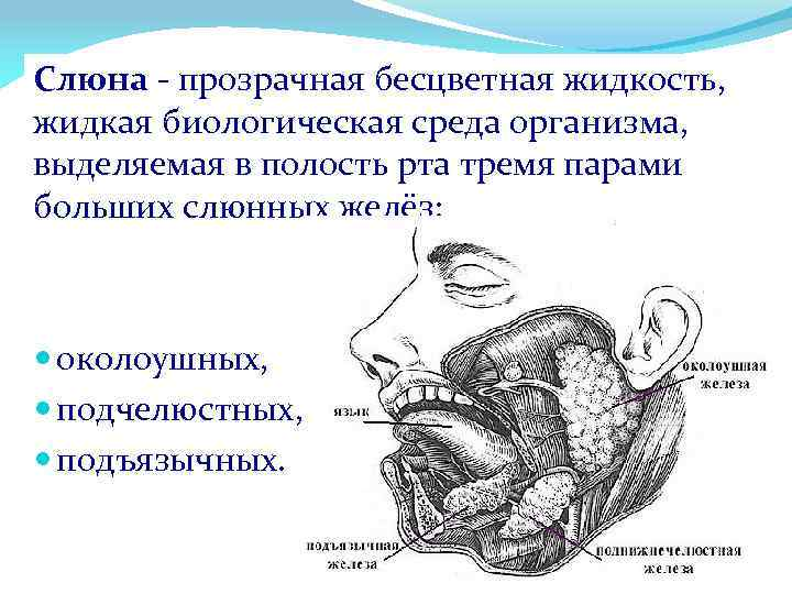 Слюна - прозрачная бесцветная жидкость, жидкая биологическая среда организма, выделяемая в полость рта тремя