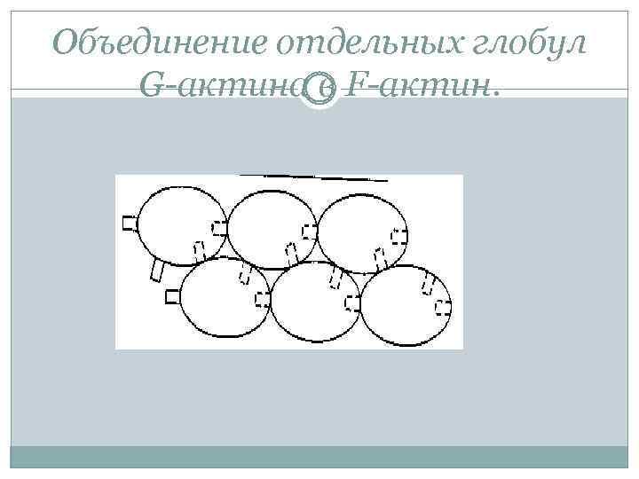 Объединение отдельных глобул G-актина в F-актин.