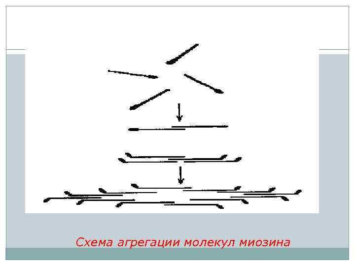 Схема агрегации молекул миозина