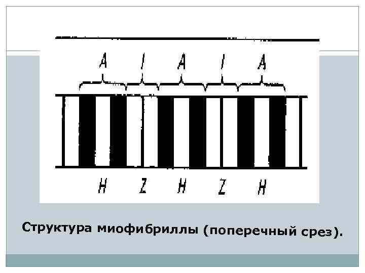 Структура миофибриллы (поперечный срез).