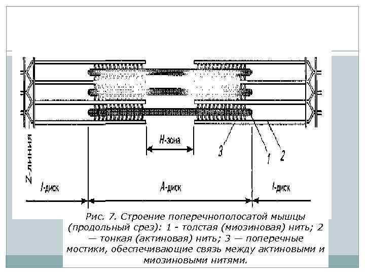 Рис. 7. Строение поперечнополосатой мышцы (продольный срез): 1 - толстая (миозиновая) нить; 2 —