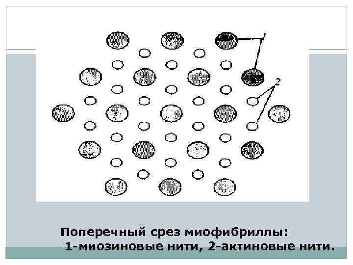 Поперечный срез миофибриллы: 1 -миозиновые нити, 2 -актиновые нити.