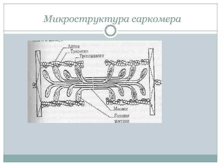 Микроструктура саркомера