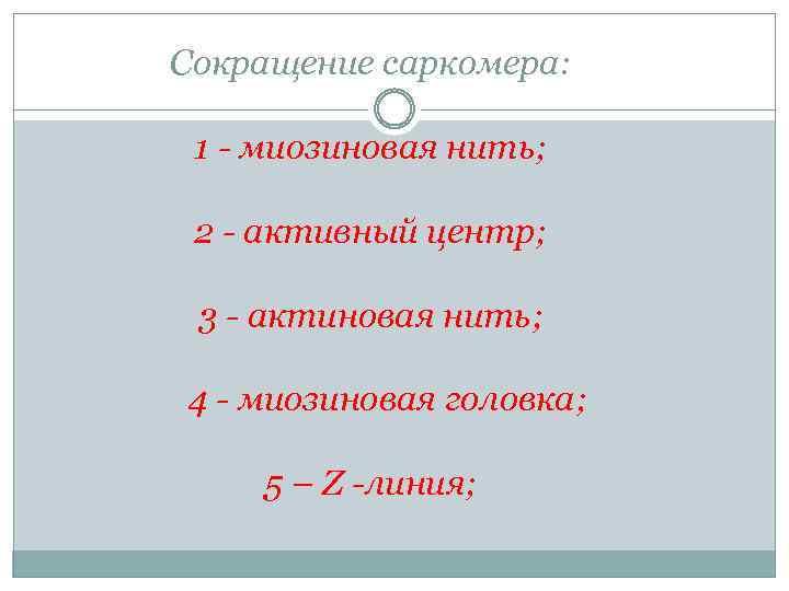 Сокращение саркомера: 1 - миозиновая нить; 2 - активный центр; 3 - актиновая нить;