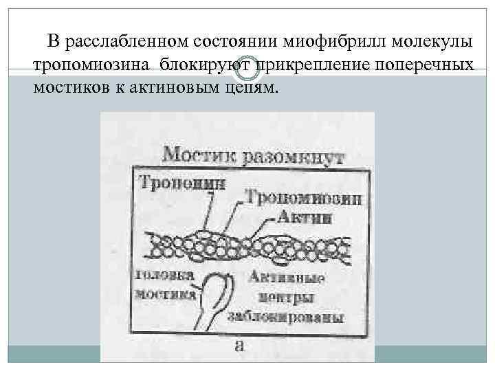 В расслабленном состоянии миофибрилл молекулы тропомиозина блокируют прикрепление поперечных мостиков к актиновым цепям.