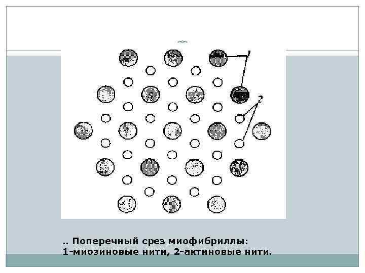 . . Поперечный срез миофибриллы: 1 -миозиновые нити, 2 -актиновые нити.