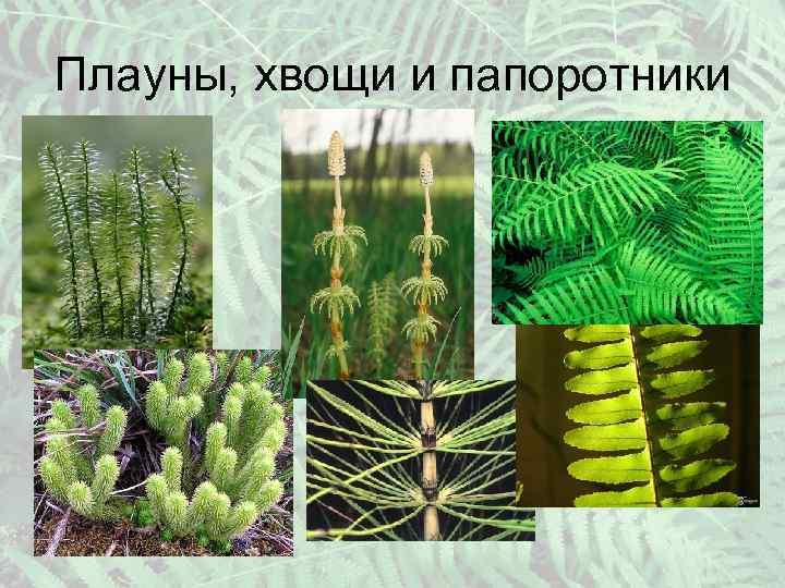 девушка, хвощи плауны картинки ростом растения стебель