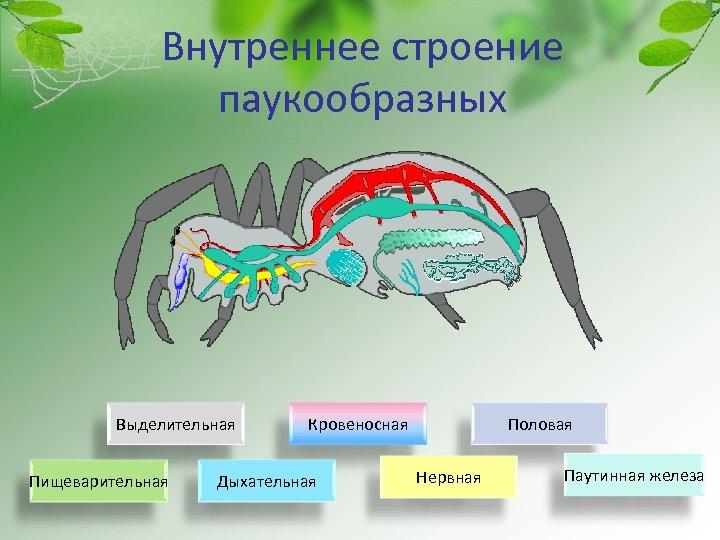 Внутреннее строение паукообразных Выделительная Пищеварительная Кровеносная Дыхательная Половая Нервная Паутинная железа