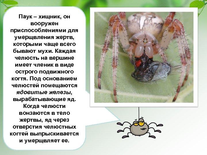Паук – хищник, он вооружен приспособлениями для умерщвления жертв, которыми чаще всего бывают мухи.