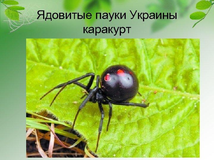 Ядовитые пауки Украины каракурт