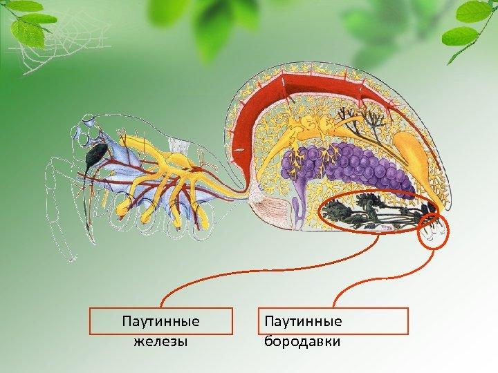 Паутинные железы Паутинные бородавки