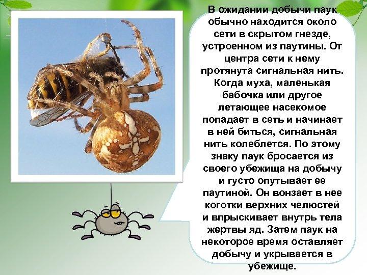 В ожидании добычи паук обычно находится около сети в скрытом гнезде, устроенном из паутины.