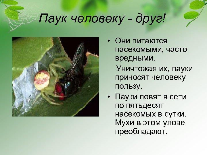 Паук человеку - друг! • Они питаются насекомыми, часто вредными. Уничтожая их, пауки приносят