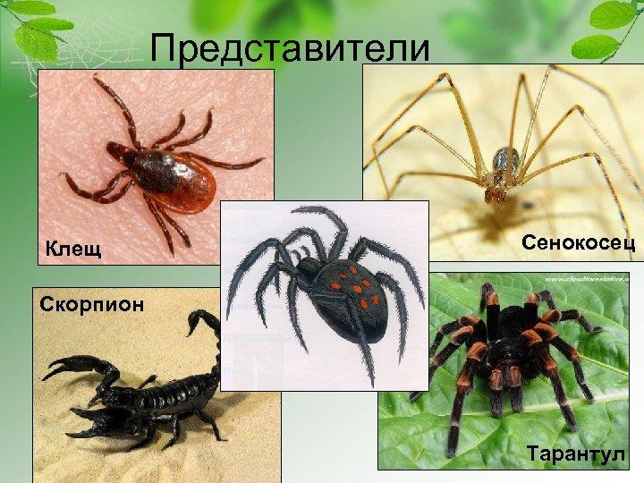 Представители Клещ Сенокосец Скорпион Тарантул