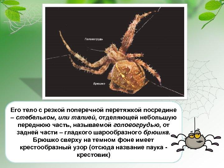 Его тело с резкой поперечной перетяжкой посредине – стебельком, или талией, отделяющей небольшую переднюю