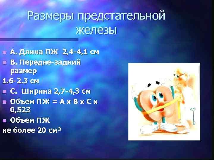 Размеры предстательной железы A. Длина ПЖ 2, 4 -4, 1 см n B. Передне-задний