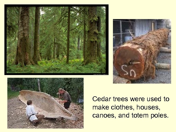 Cedar trees were used to make clothes, houses, canoes, and totem poles.