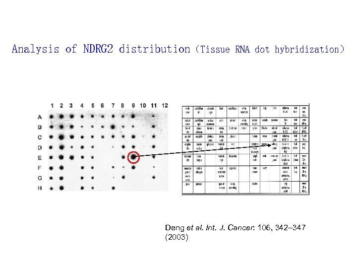 Analysis of NDRG 2 distribution(Tissue RNA dot hybridization) Deng et al. Int. J. Cancer: