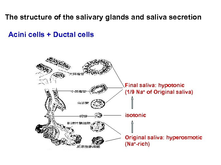 The structure of the salivary glands and saliva secretion Acini cells + Ductal cells