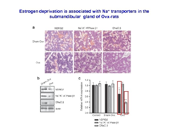 Estrogen deprivation is associated with Na+ transporters in the submandibular gland of Ovx-rats