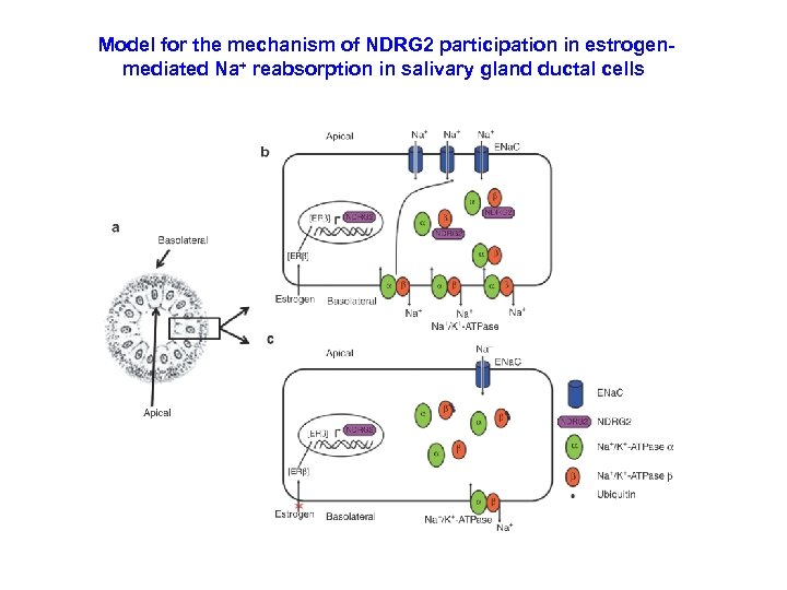 Model for the mechanism of NDRG 2 participation in estrogenmediated Na+ reabsorption in salivary