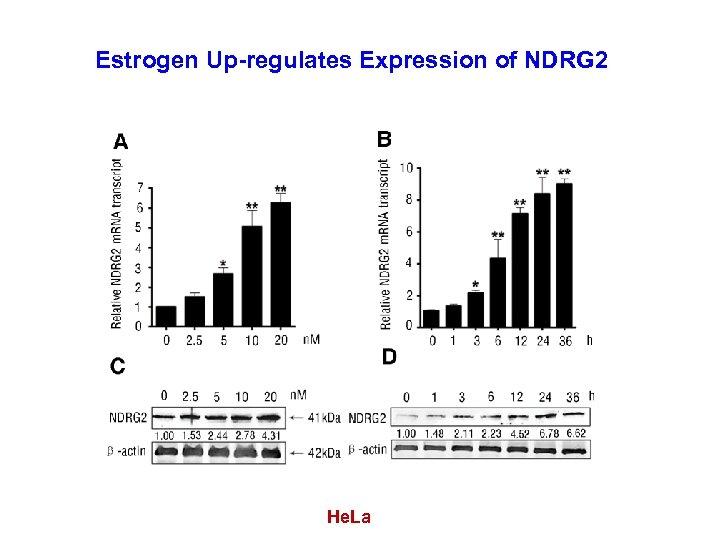Estrogen Up-regulates Expression of NDRG 2 He. La