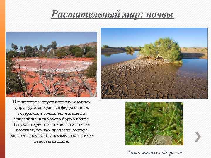 Растительный мир: почвы В типичных и опустыненных саваннах формируются красные ферралитные, содержащие соединения железа
